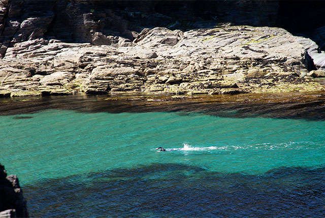 open water swimmer training in the sea at port gaverne, cornwall