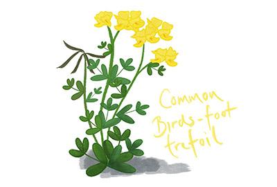 illustration of common birdsfoot trefoil a cornish coastal wildflower