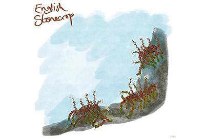 illustration of english stonecrop