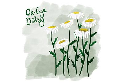 illustration of an ox-eye daisy, a cornish coastal wildflower