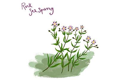 illustration of rock sea spurrey a cornish coastal wildflower