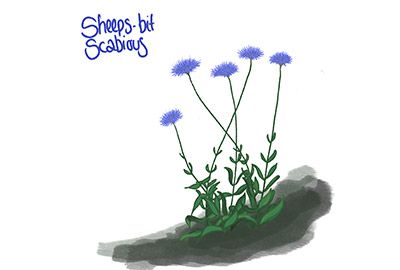 illustration of sheep's bit scabious a cornish coastal wildflower