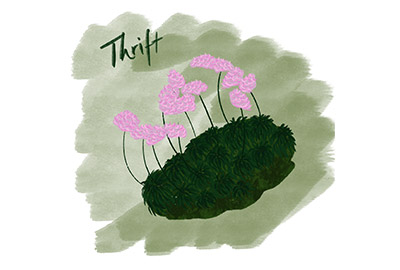 illustration of thrift or sea pinks a cornish coastal wildflower