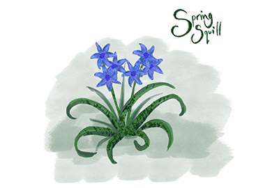 illustration of spring squill a cornish coastal wildflower