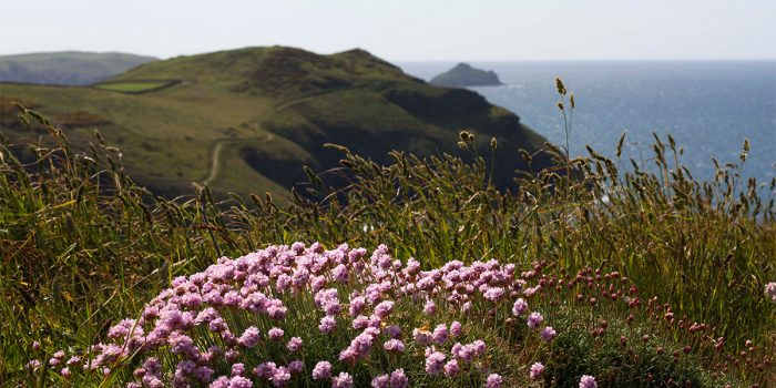 sea pinks on the coast path near port isaac in cornwall