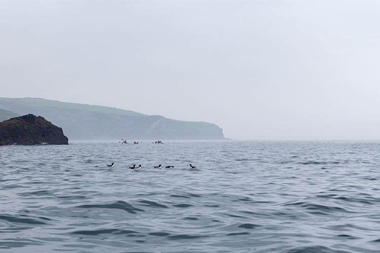 sea kayaking near a raft of razorbills in north cornwall