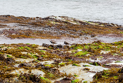 turnstones on the beach in cornwall