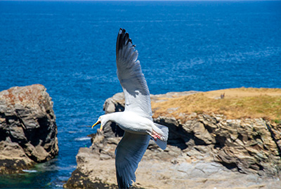 herring gull flying above the cliffs in north cornwall